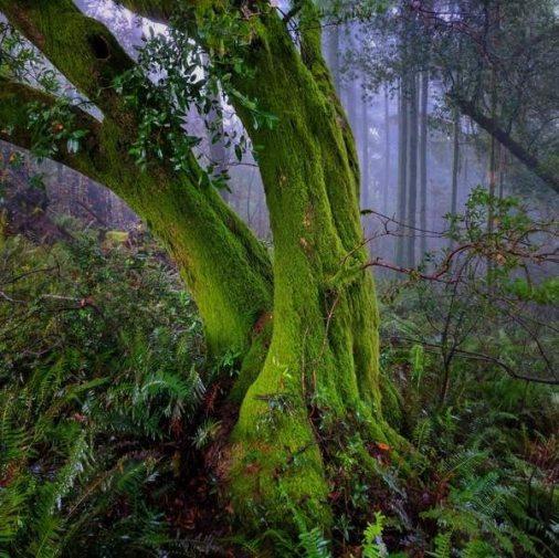 Old-growth Oak